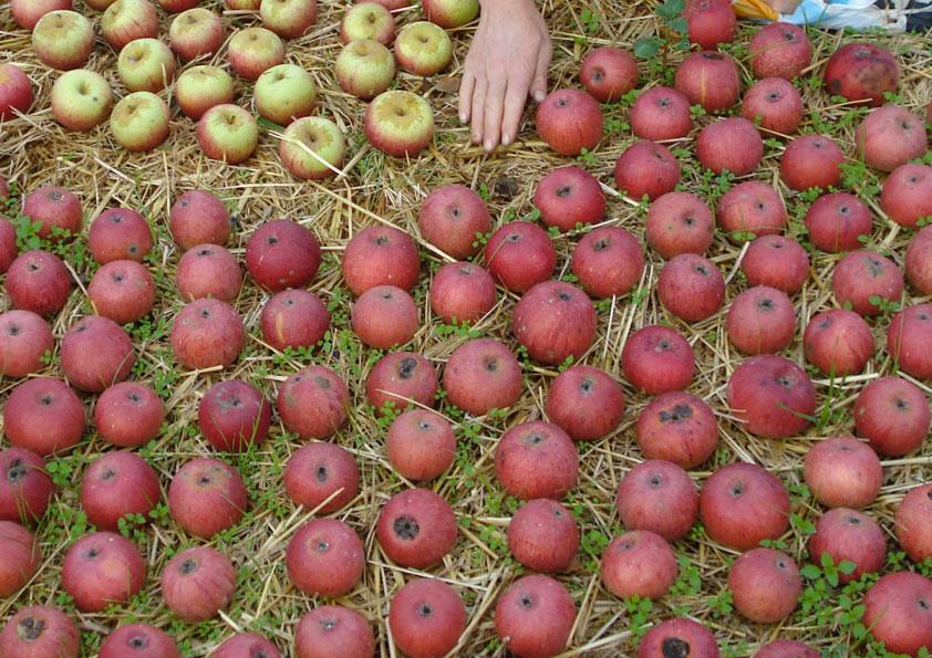 Azienda agricola Rusciano – Mela annurca III 1 kg